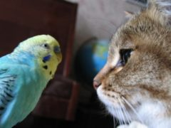 Попугай донимает кота разговорами (забавное видео)