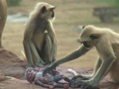 Итоги эксперимента с куклой в стае лангуров (индийских обезьян)