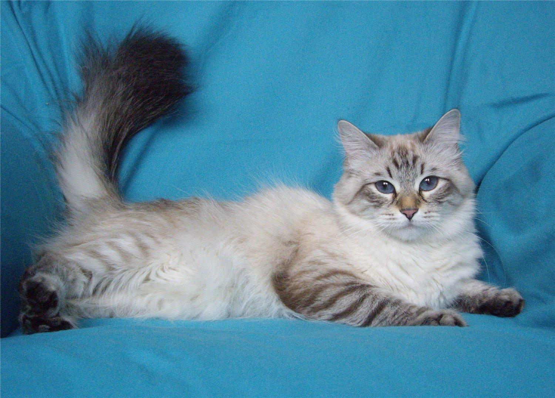 порода кошек сибирская маскарадная фото любой момент можете