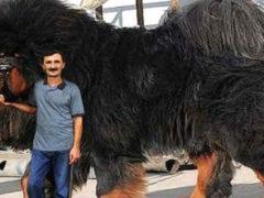 Тибетский мастиф: самая крупная собака на земле, цена на которую достигает 1,5 млн долларов