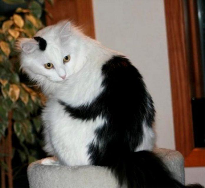 Картинки по запросу Забавный кот с окрасом панды и многие другие