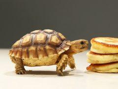 Что произойдет, если предложить черепахе свежих домашних оладушков