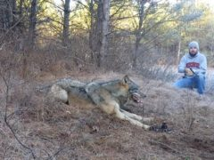 Охотник расставил несколько капканов в различных точках леса и поймал матерого волка