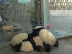 Малыши панды организовали хладнокровное нападение на уборщицу вольеров