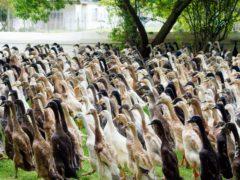 В Южной Африке стадо отлично организованных уток устроили на работу