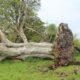 Исследователи обнаружили под поваленным деревом древние останки молодого мужчины