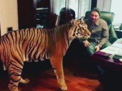 Эдгар Запашный в новом видео показал, как нему в кабинет спокойно наведываются тигры
