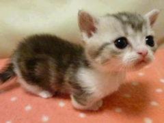 Никакого фотошопа, эта кошка действительно существует и у нее имеется целый ряд плюсов