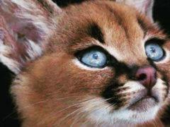 Очаровательные малыши каракалов выигрывают во внешности перед любой домашней кошкой